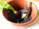 Noma - Radiser, jord og urteemulsion 2